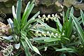 Angraecum Eburneum (1) (11983515063).jpg