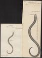 Anguis meleagris - 1700-1880 - Print - Iconographia Zoologica - Special Collections University of Amsterdam - UBA01 IZ12600065.tif