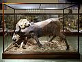 Animated lion and African buffalo taxidermy Powell-Cotton Museum, Birchington Kent England.jpg