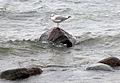 Annan mås nedanför Murfallet Visby Strandprommenad 2.jpg