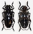 Anoplophora chinensis (16046529959).jpg