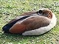 Anseriformes - Alopochen aegyptiacus - 20.jpg