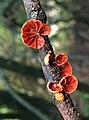 Anthracophyllum discolor (Mont.) Singer 1951 887011.jpg