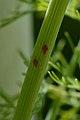 Aphids (Aphididae) - London, Ontario.jpg