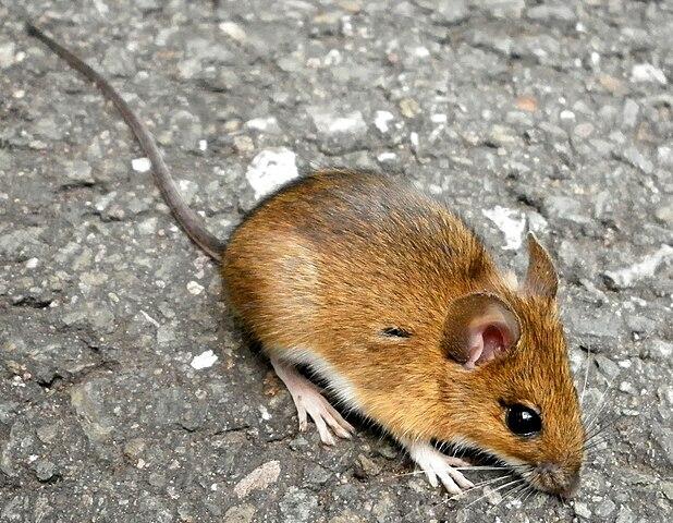 Archivo:Apodemus flavicollis (Ratiborice).jpg - Wikipedia, la enciclopedia libre