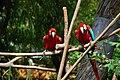 Ara chloroptera -Birmingham Zoo -Alabama-4.jpg