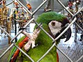 Ara severus -World Parrot Refuge, Coombs, British Columbia, Canada-8a.jpg