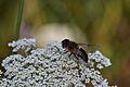 Araignées, insectes et fleurs de la forêt de Moulière (Les Agobis) (28942715731).jpg