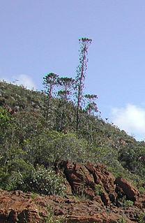 <i>Araucaria bernieri</i> species of plant