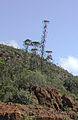 Araucaria bernieri Yaté 1.jpg