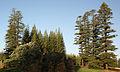 Araucaria heterophylla Norfolk Island 18.jpg