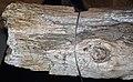 Araucaria sp. (fossil conifer tree) (Mesozoic) 2 (49019234808).jpg