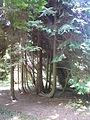 Arboretum des barres-thuya aux 80 troncs-b.JPG