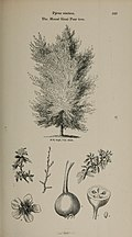 Arboretum et fruticetum britannicum, or - The trees and shrubs of Britain, native and foreign, hardy and half-hardy, pictorially and botanically delineated, and scientifically and popularly described (14781632824).jpg