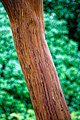 Arbutus Madrone, Highdown Gardens Cherry Tree Avenue, Worthing.jpg