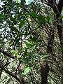 Arbutus unedo.002 - Serra de Enciña de Lastra.JPG