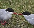 Arctic tern (Sterna paradisaea) (14489444213).jpg