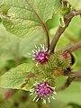 Arctium lappa (flowers).jpg