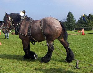 Ardennes horse - An Ardennes horse in harness