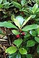 Ardisia japonica kz1.jpg