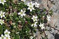 Arenaria biflora (Zweiblüten-Sandkraut) IMG 8996.jpg