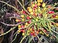 Arenga-tremula-fruits.JPG