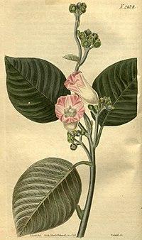 Argryreia splendens (Ipomoea splendens) Bot. Mag. 53. 2628. 1826