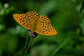 Argynnis paphia (36521867566).jpg