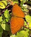 Ariadne ariadne - Angled Castor butterfly 04.JPG