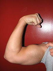 An example of an arm flexed in a supinated position with the biceps fully contracted.