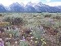 Artemisia arbuscula and Artemisia tridentata vaseyana (9374181522).jpg