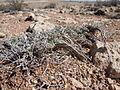 Artemisia bigelovii — Matt Lavin 016.jpg