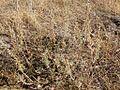 Artemisia frigida (3299645261).jpg