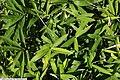 Arundinaria pygmaea 1zz.jpg