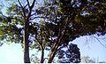 Arvore do parque da cidade de brasilia.jpg