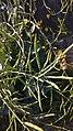 Arya- field mustard-graha nuansa-2019-0.jpg