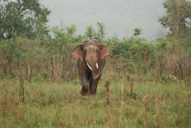 Asian Elephant at Corbett National Park 15