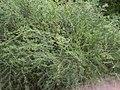 Asparagus laricinus.jpg