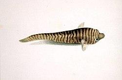 definition of gobiesocidae