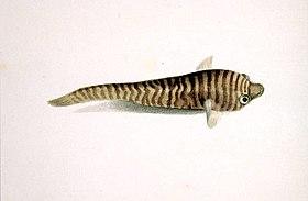 Aspasmogaster tasmaniensis - Gould.jpg