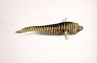 <i>Aspasmogaster</i> genus of fishes