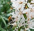 Asphodelus macrocarpus var. arrondeaui in Jardin des Plantes 02.jpg