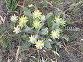 Astragalus dasyanthus habitus 2.jpg