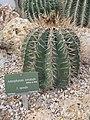 Astrophytum ornatum (Jardin des Plantes de Paris).jpg
