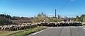 Aubignan - moutons 3.jpg