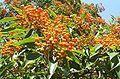 Auranticarpa rhombifolia Mt Keira Gardens.jpg