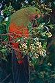 Australian King Parrot (Alisterus scapularis) male juvenile (10020672936).jpg