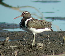 Australian Painted-Snipe female Nov02.JPG