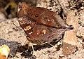 Autumn leaf Neora N.WB April 2010 (5001444564).jpg