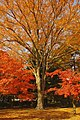 Autumn leaves - panoramio (6).jpg